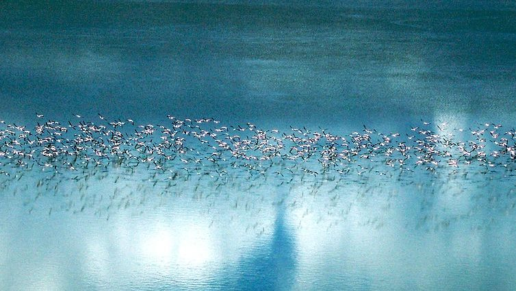 Flamingo migratie Makgadikgadi Pan - Botswana