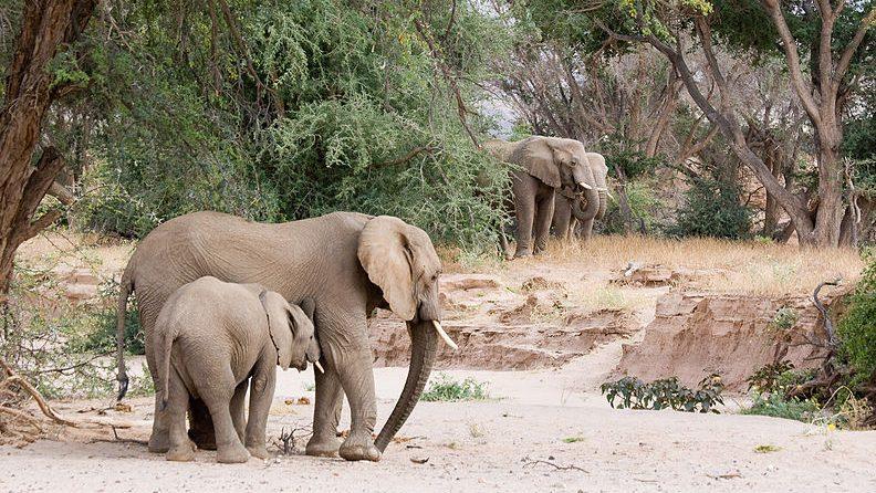 Woestijnolifanten - Namibie