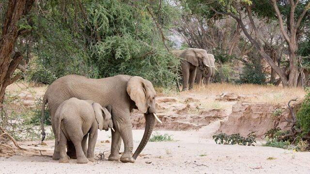 Woestijnolifanten - Namibie Rondreis Op Maat Specialist