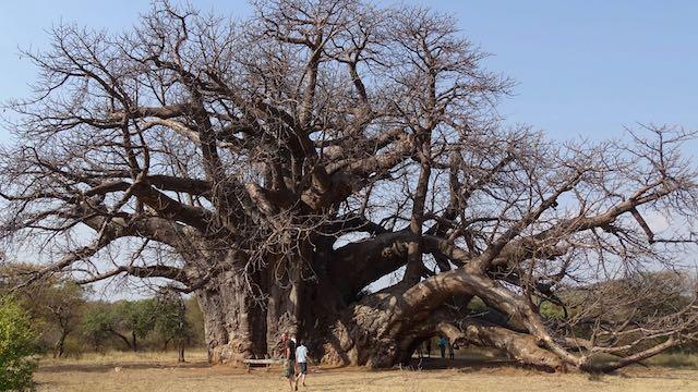 Baobab Limpopo Krugerpark Zuid Afrika Rondreis Op Maat Specialist