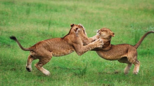 Cubs Botswana Rondreis Op Maat Specialist