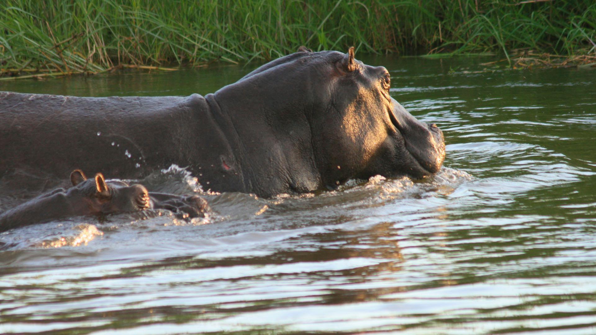 Nijlpaarden Panhandle - Botswana