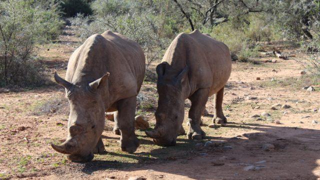 Neushoorns Blogverslag Tom en Annemieke Zuid-Afrika Rondreis Op Maat Specialist