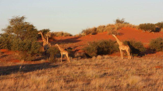 Kalahari Namibie