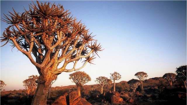 Kokerboom - Namibie