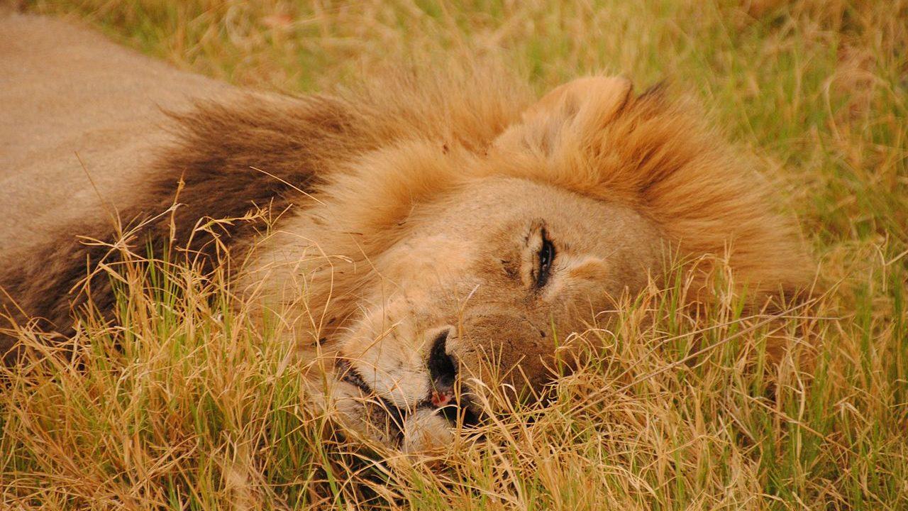 leeuw Moremi - Botswana