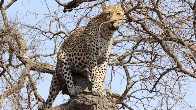 Luipaard Zuid Afrika Rondreis Op Maat Specialist