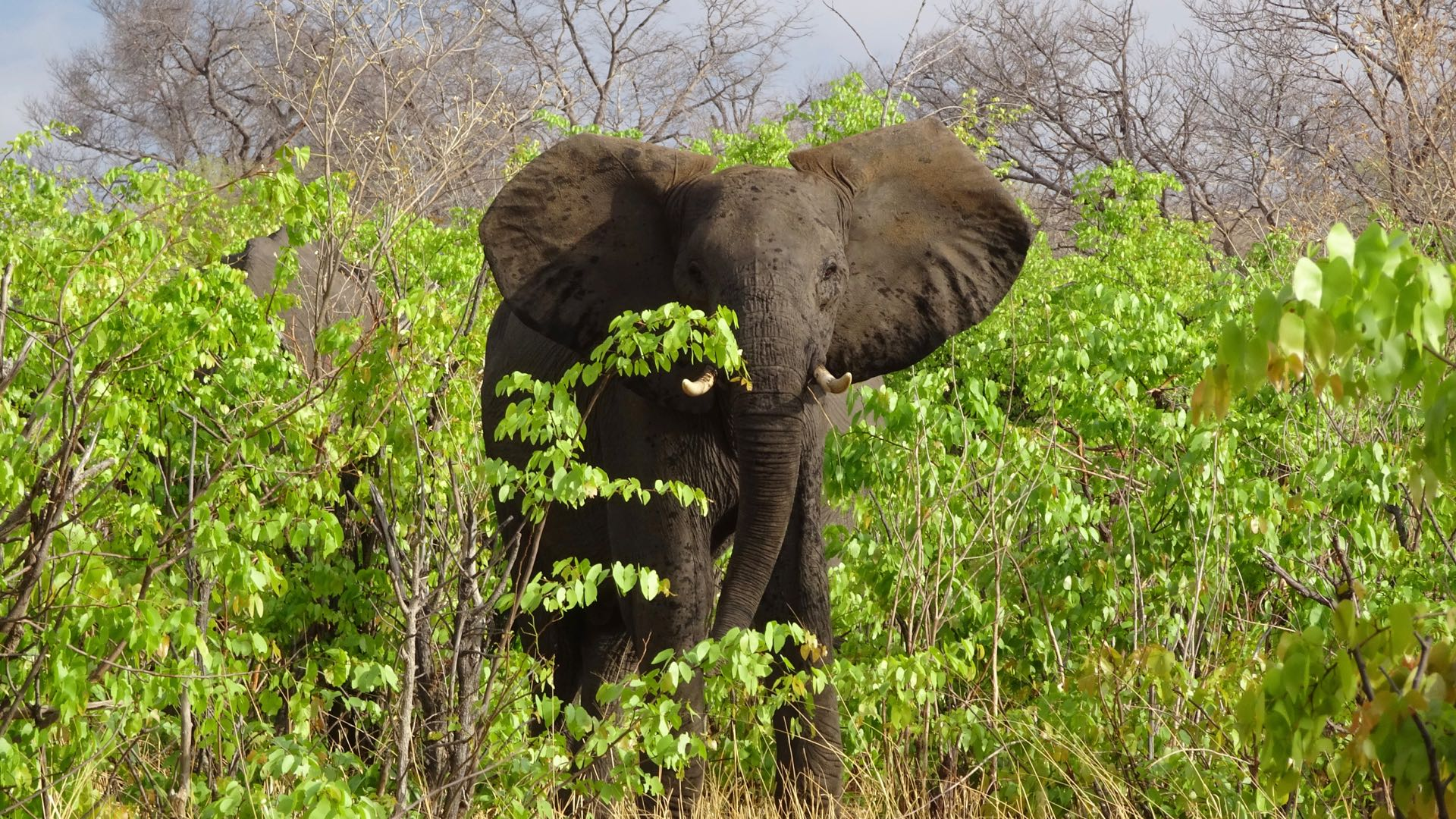 Olifant Savuti - Botswana