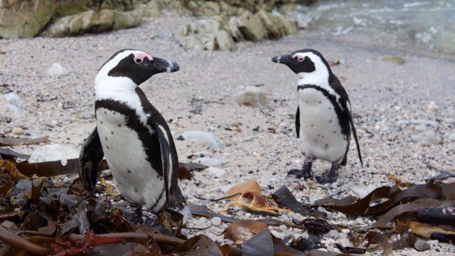 Pinguins bij Bettys Bay Zuid-Afrika Rondreis Op Maat Specialist