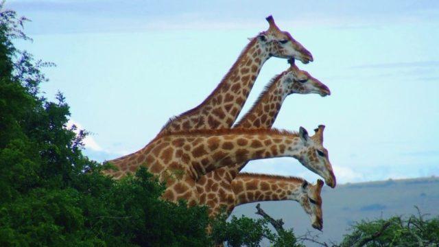 Safari Giraffen familie Verhorst Rondreis Op Maat Specialist
