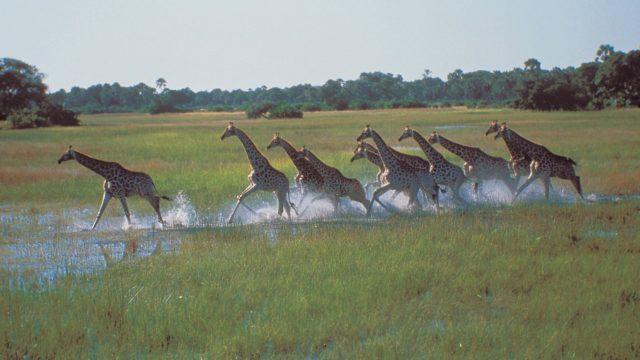 Safari Giraffen rennen door water - Okavango Delta