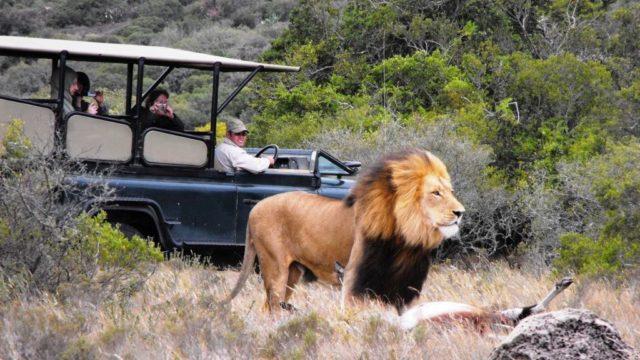 Safari Jeep safari leeuw Amakhala Zuid-Afrika Rondreis Op Maat Specialist