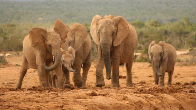 Olifanten safari Zuid-Afrika Rondreis Op Maat Specialist