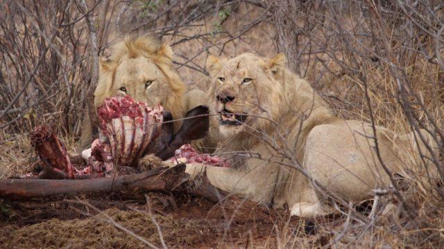 Limpopo en Krugerpark