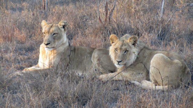 Safari twee leeuwen Zuid-Afrika Rondreis Op Maat Specialist