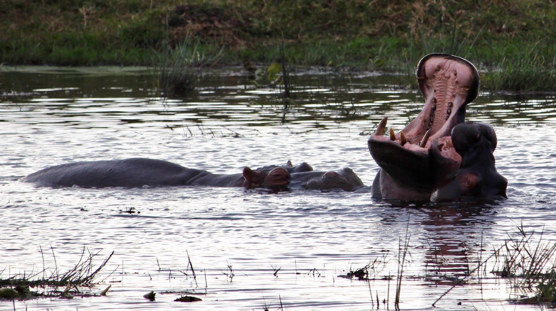 Nijlpaard Krugerpark