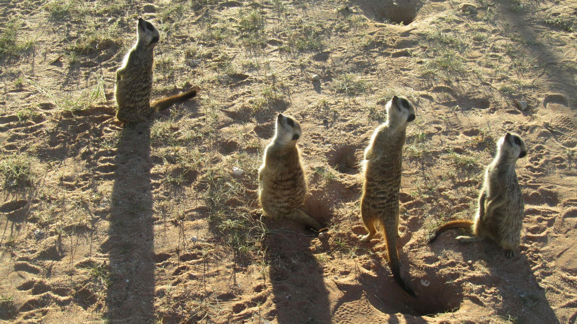 Stokstaartjes Central Kalahari GR - Botswana
