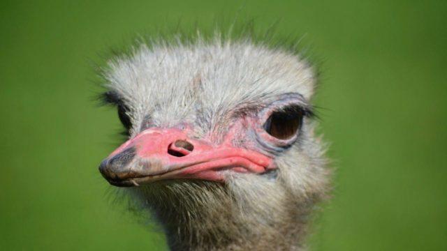 Struisvogel groen