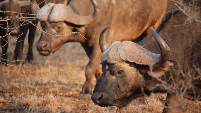 buffels Zuid-Afrika Rondreis Op Maat Specialist familie ballegooijen