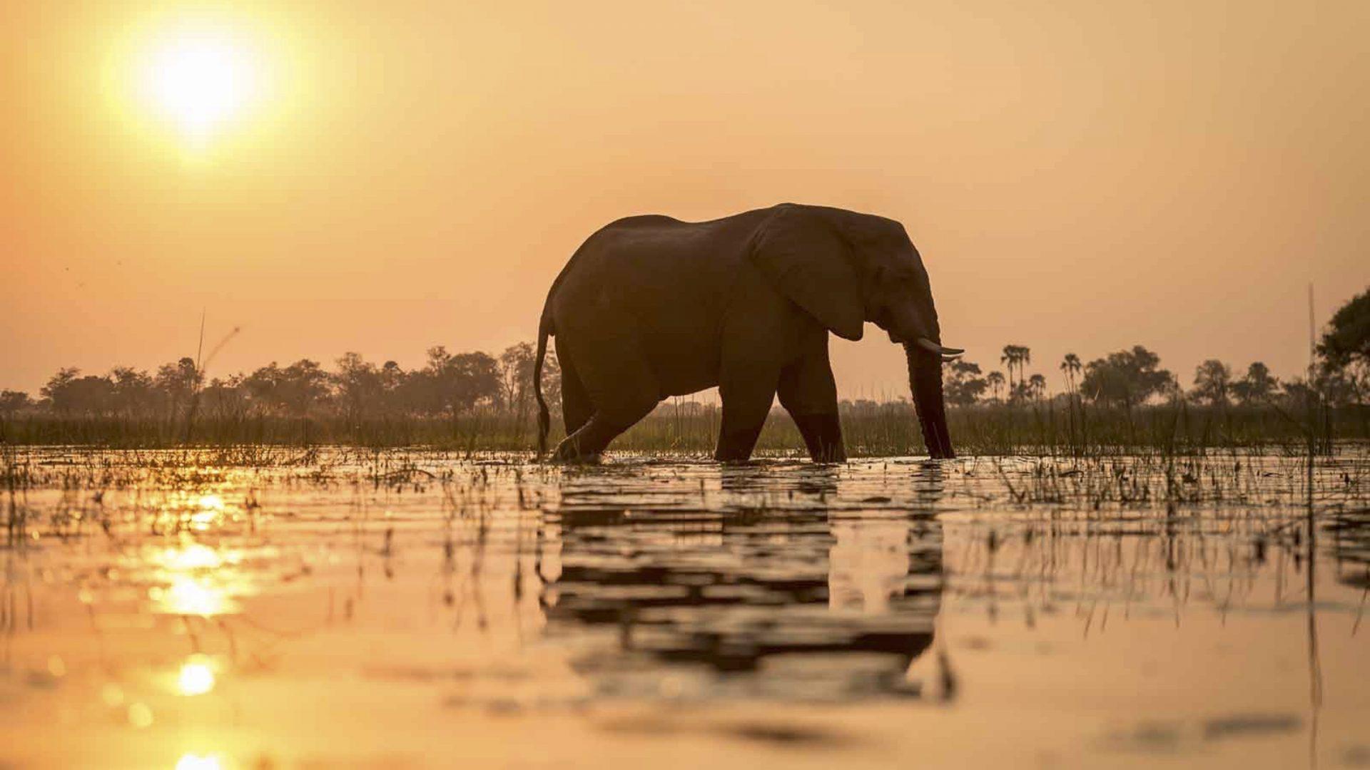 Olifant in water met zonsondergang - Botswana Panhandle