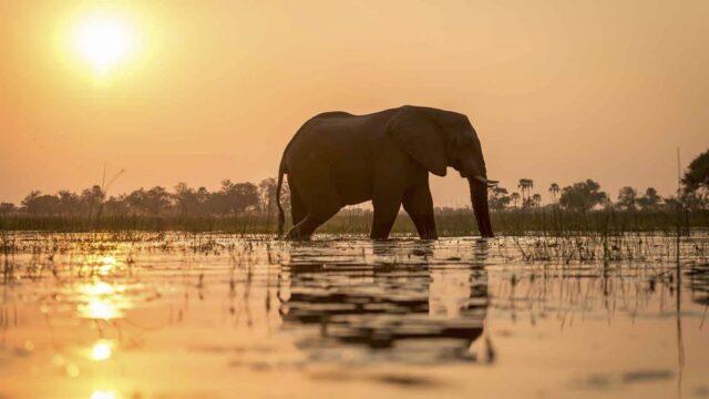 Olifant in water met zonsondergang - Botswana Panhandle Rondreis Op Maat Specialist