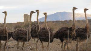 Struisvogels familie Dekker (1)