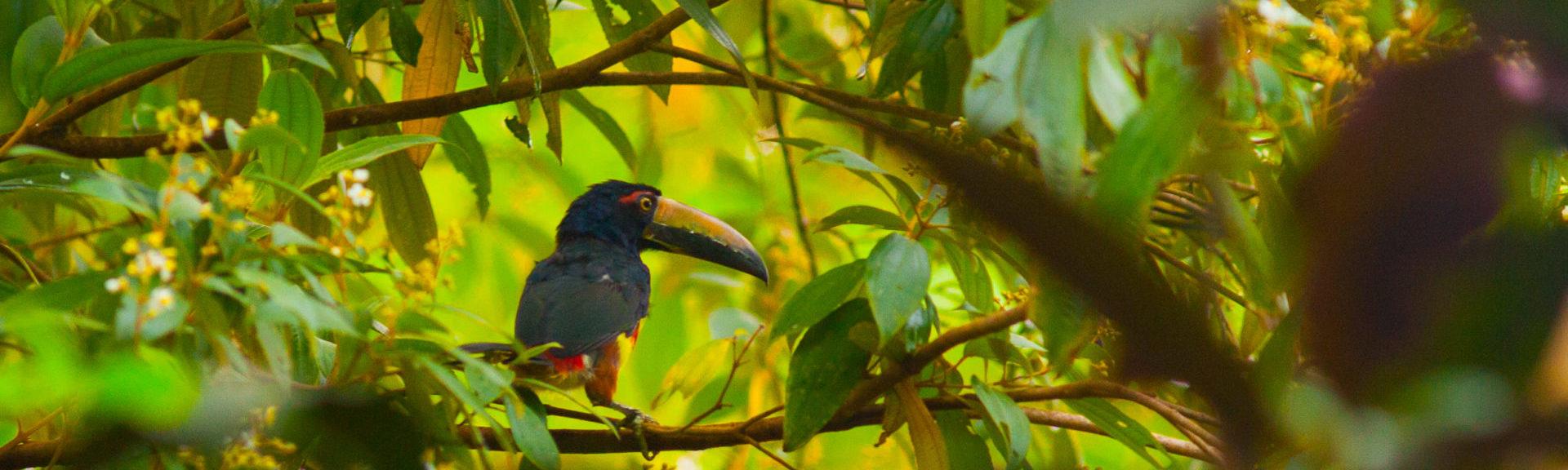 Reizen op maat Costa Rica aracari