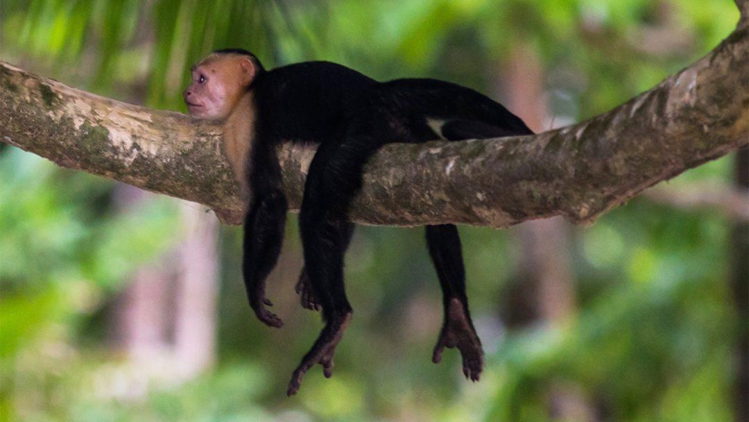 Reizen op maat Costa Rica aap