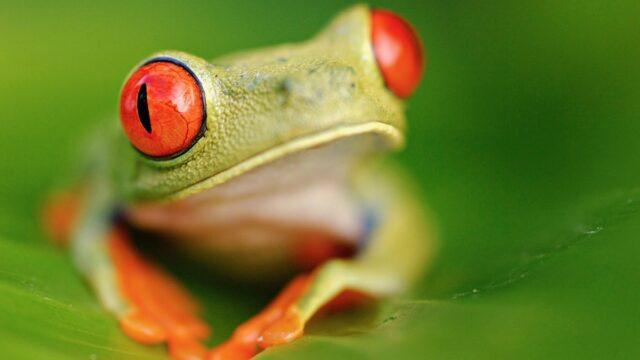 kikker Costa Rica Rondreis Op Maat Specialist