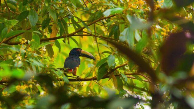 vogel Aracari Highlights Costa Rica Rondreis Op Maat Specialist