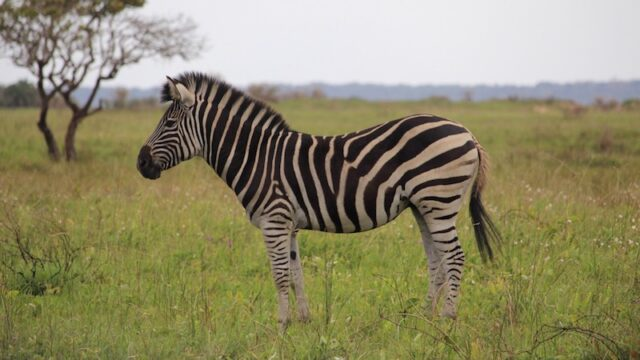 Baby Zebra tijdens Bush safari Rondreis Op Maat Specialist