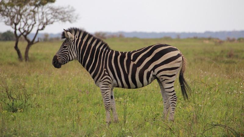 Baby Zebra Rondreis Op Maat Specialist