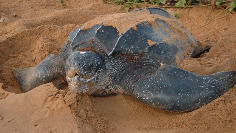 Avondtour naar Zeeschildpadden Suriname Rondreis Op Maat Specialist