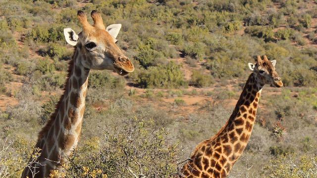 Giraffen Zuid Afrika Rondreis Op Maat Specialist