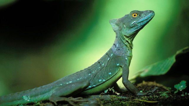 IGUANA soort leguaan Costa Rica Rondreis Op Maat Specialist