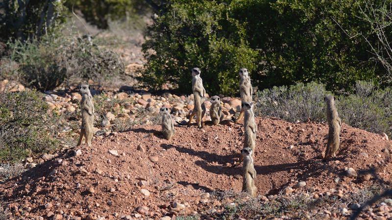 Meerkat Safari Rondreis Op Maat Specialist