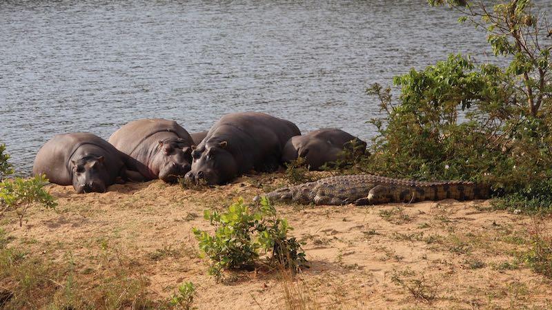 Zuid-Afrika Hippo & Croc boottocht Nijlpaarden Hippos Rondreis Op Maat Specialist web