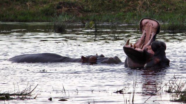 nijlpaard Zuid-Afrika Rondreis Op Maat Specialist