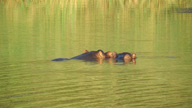 St Lucia nijlpaard Zuid Afrika Rondreis Op Maat Specialist