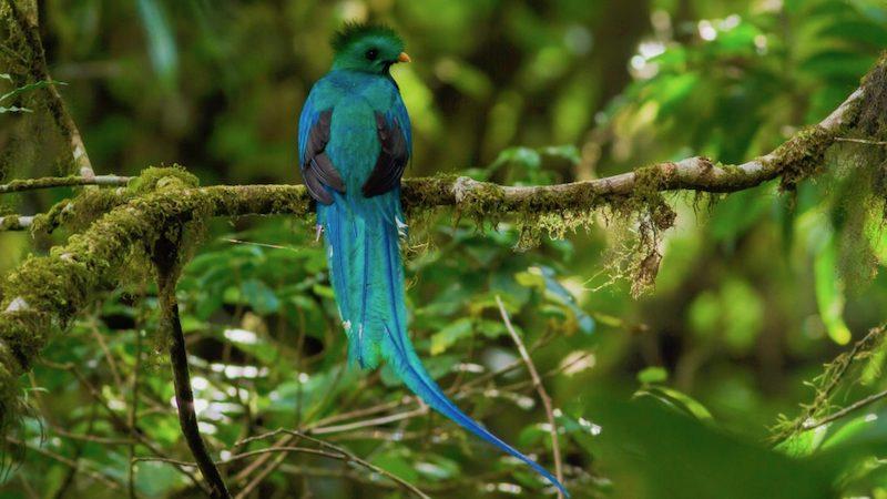 Quetzals spotten Costa Rica Rondreis Op Maat Specialist
