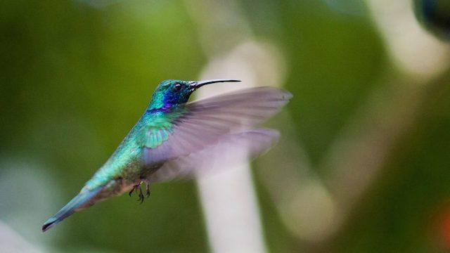 Vogel KOLIBRI Costa Rica Rondreis Op Maat Specialist