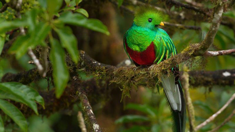 Vogel QUETZAL San Gerardo de Dota Costa Rica Rondreis Op Maat Specialist