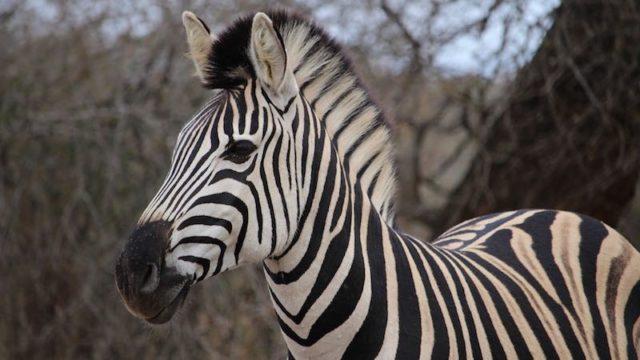 Zebra Krugerpark Zuid-Afrika Rondreis Op Maat Specialist