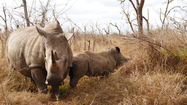 Neushoorns Fam Ashouwer Zuid-Afrika Rondreis Op Maat Specialist