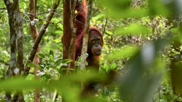 Kalimantan Tanjung Puting Indonesië Rondreis Op Maat Specialist