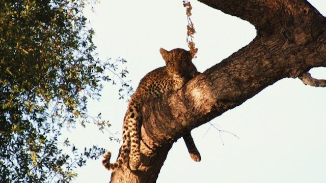 Luipaard Botswana Rondreis Op Maat Specialist