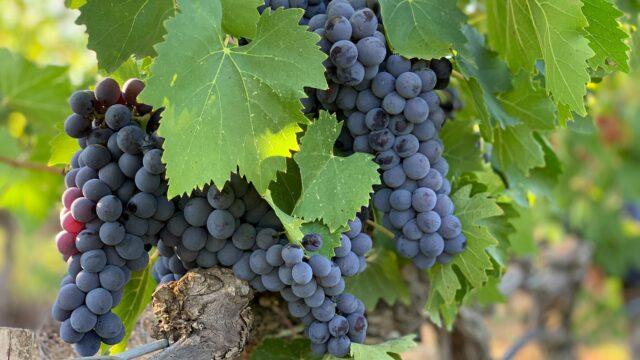 Wijnrank Italië Europa Rondreis Op Maat Specialist